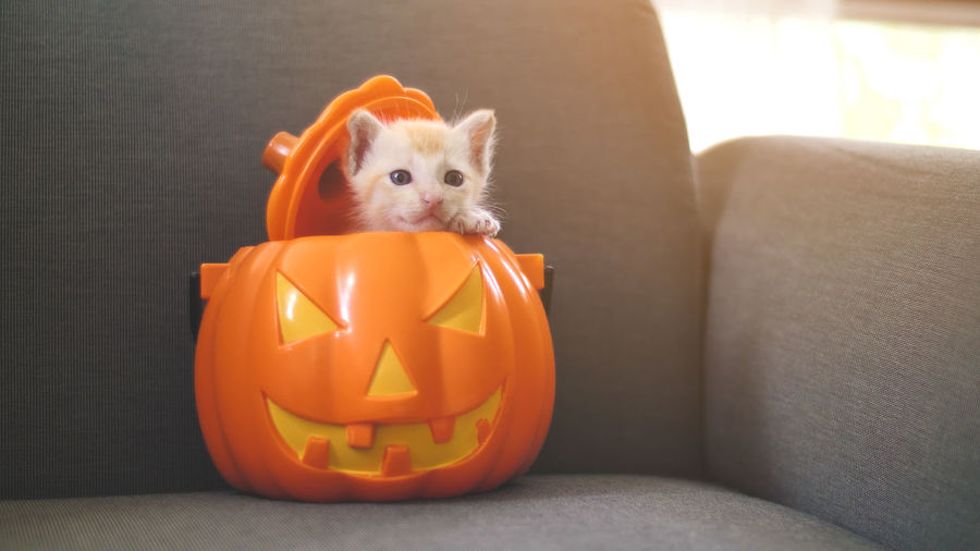 Close-Up Portrait Of Kitten Relaxing In Jack O Lantern On Chair During Halloween