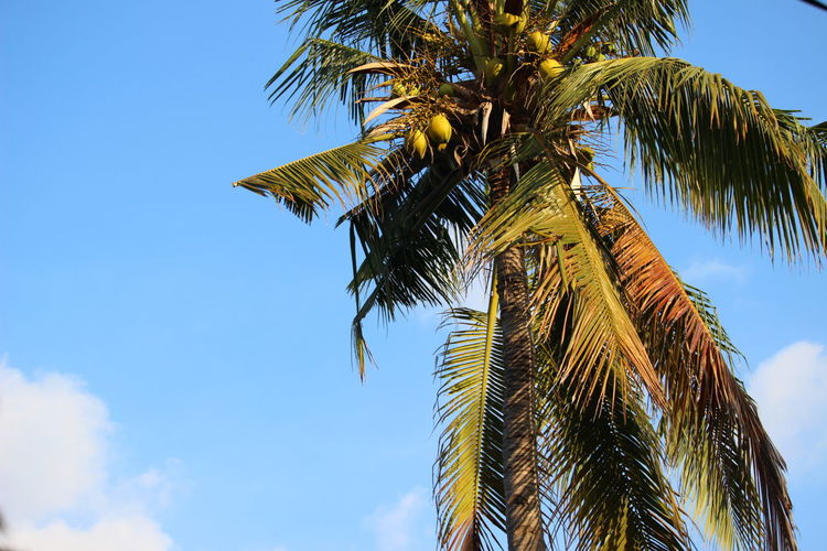 Beauty In Nature Blue Branch Day Frond Growth Leaf Low Angle View Nature No People Outdoors Palm Frond Palm Leaf Palm Tree Sky Tree Tree Trunk