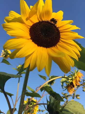 TCPM Flower Yellow Petal Fragility Sunflower Freshness Flower Head Growth Beauty In Nature Plant Nature No People Pollen Sky Blooming Day Close-up Outdoors Leaf Low Angle View Hello World Front View Taking Pictures Sunflower