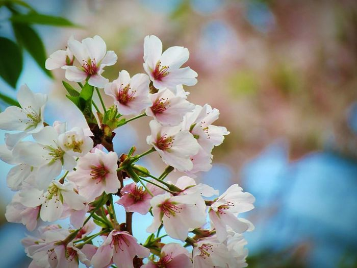 Flower Nature Close-up Blossom Springtime Beauty In Nature Freshness Flower Head Branch Fragility Tree Growth Petal No People Outdoors Plant
