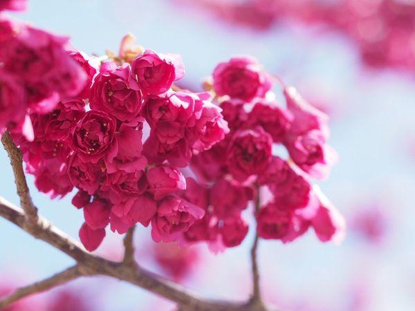寒桜 Flower Nature Pink Color Beauty In Nature EyeEm Nature Lover EyeEm Best Shots Spring Flowers Spring Cherry Blossom Macro Red