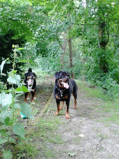 Hat Spaß gemacht, die gemeinsame Hunderunde Freya Mit Rocky Dickefreunde Hunde Liebe ♡ Freizeit Bernersennen -mix Rottweiler