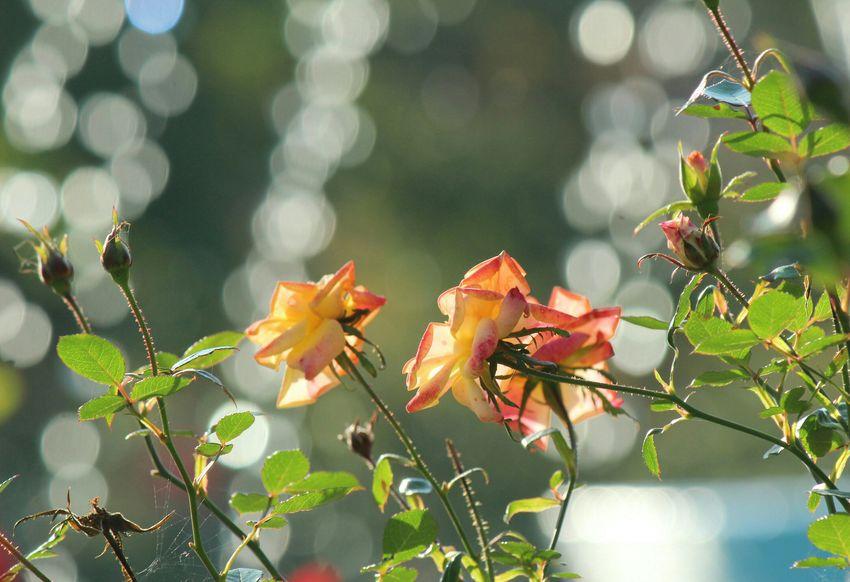 噴水玉ぼけ 玉ボケ 玉ボケ部 Bokeh Bokeh Photography Bokeh Love EyeEm Nature Lover Flowers 花 Flower Photography Nature Photography Sunflower Sunlight Sunshine