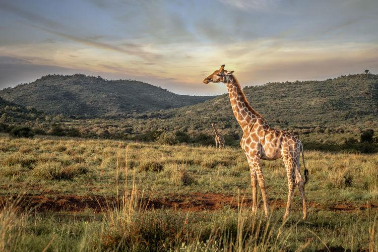 View of giraffe on land against sky