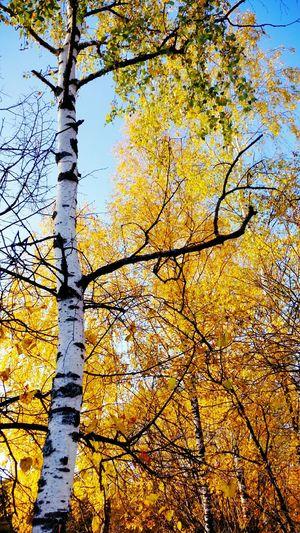 осень Природа Autumn береза