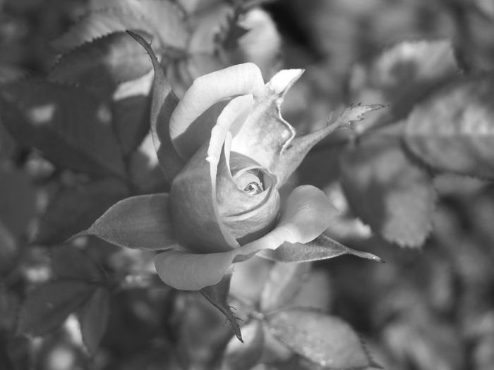 Rosebush head water drop One Rose BnW3 Selected Focus Black And White Flower Head Flower