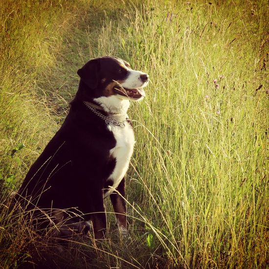 Dogphoto Appenzellermountaindog Peace DogLove Dog In Grass Dog In Field Dog Walking Dogwalk Animal In Nature Animal 43 Golden Moments Paradise Peaceful Place Home Is Where The Art Is