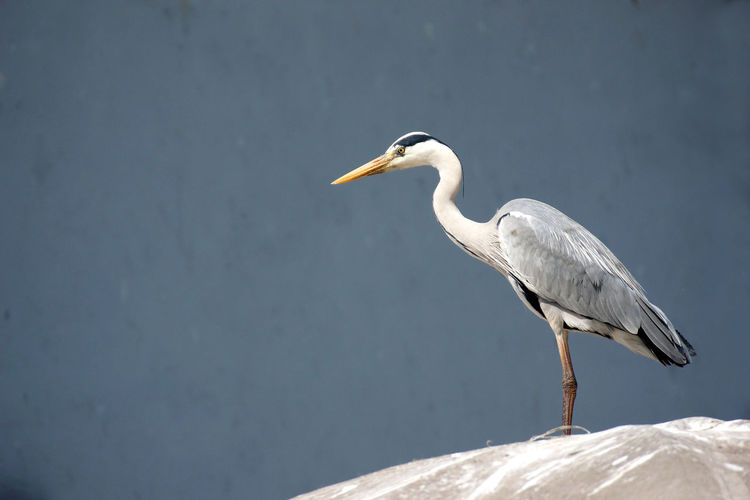 Gray heron perched on the roof of an Istanbul fish market stall Istanbul Animal Animal Themes Animal Wildlife Animals In The Wild Bird Day Fish Market Focus On Foreground Gray Gray Heron Heron Market Stall Nature Neutral Background No People One Animal Outdoors Perching Profile View Side View Vertebrate Water Water Bird White Color