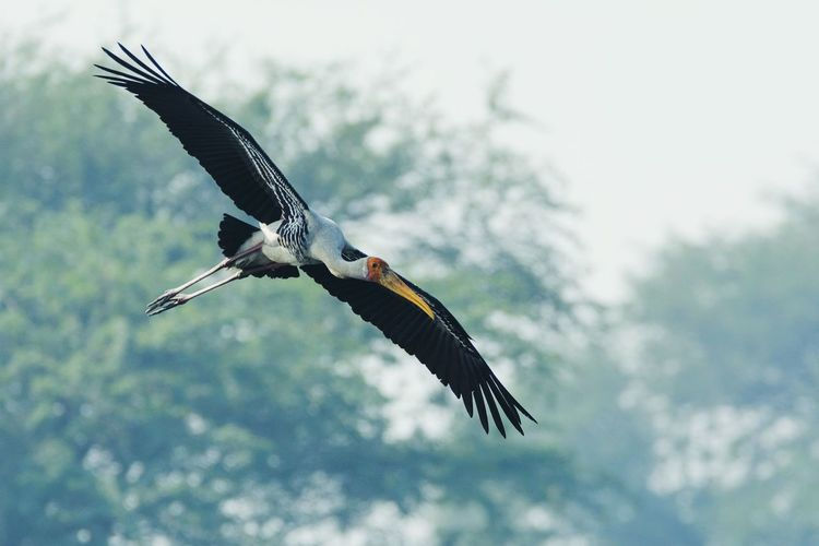 Flying One Animal Bird Outdoors Spread Wings Beauty In Nature Paintedstork Stork Flying Stork Storks Looking For Food