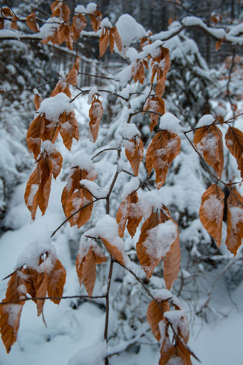 Close-up of snow covered leaves during winter