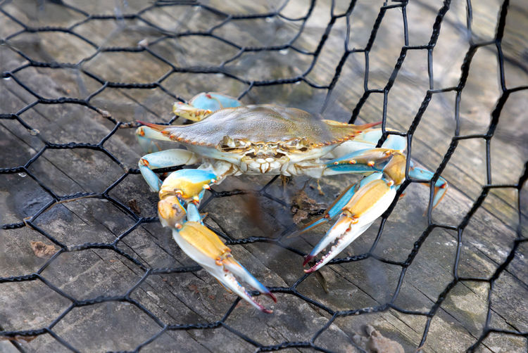 Blue crab caught in the net, gulf of mexico