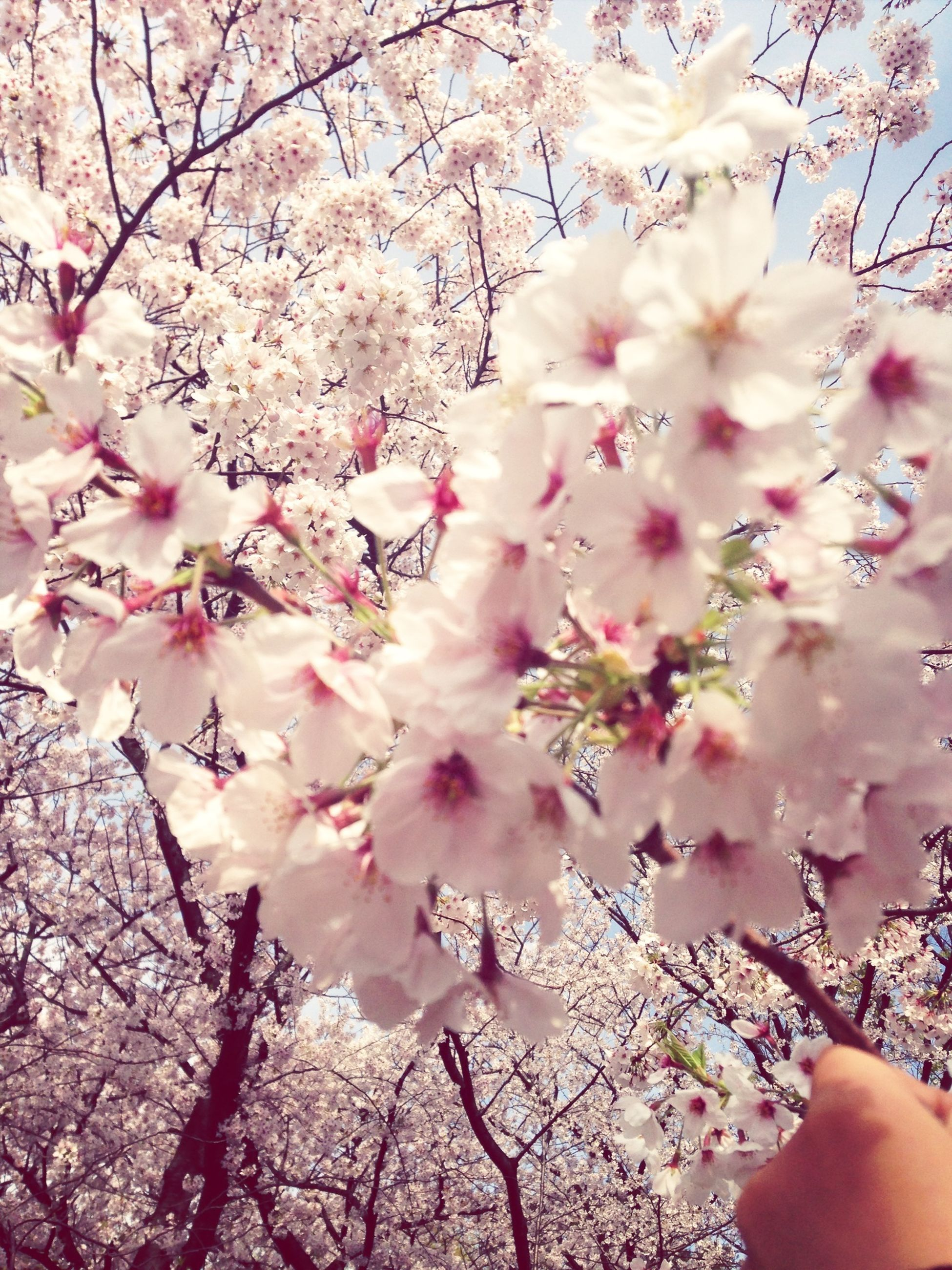 flower, tree, branch, freshness, pink color, fragility, growth, cherry blossom, beauty in nature, blossom, nature, cherry tree, low angle view, petal, pink, springtime, day, in bloom, outdoors, part of