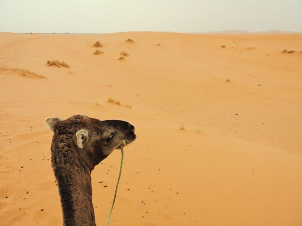 My Camel is really Happy :) 😍 Safari Animals Safari Adventure Desert Animal Desert Animals Dunes Dune Dunas Camello Yellow Arena Happy Happy Animal Real Happiness Deserts Around The World No One Panorama Panoramic Photography Animal Wildlife Animal Head  No War Chill Life EyeNewHere Arabic Style Arabic Culture EyEmNewHere MoroccoTrip Colorado Desert Arabic Tradition No Water Eye To Eye Arabic EyeEmBestPics EyeEm Selects EyeEm Gallery EyeEm Nature Lover Eyes EyeEm Best Shots EyeEmNewHere  Best Trip Smiling New Family Family Vacation Morocco Sahara Excursion Desert Clouds Deserto Desert Life Desert Love love is love Smile Eyes Holiday Couple Desert Photography Weeding Coppia Love Safari Animals Sand Cheetah Sky Close-up Sand Dune Vulnerable Species Animals Hunting Desert Camel Safari #urbanana: The Urban Playground Be Brave Summer In The City