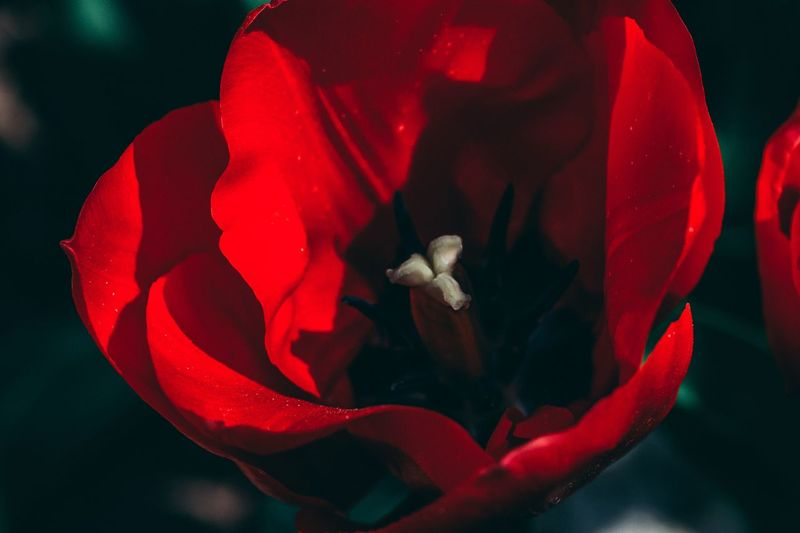 Tulip macro Sigurtà Tulip Flower Flowering Plant Red Petal Beauty In Nature Close-up Inflorescence Rose - Flower Vulnerability  Nature Focus On Foreground Indoors  Freshness Flower Head No People Flower Arrangement Plant Growth Fragility