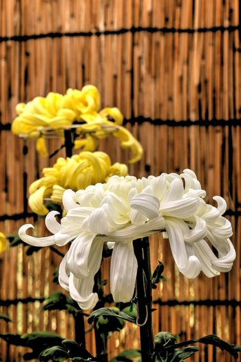 Close-up Crysanthemen Day Flowers Fresh Nature No People Outdoors Pink White Yellow Chrysanthemum