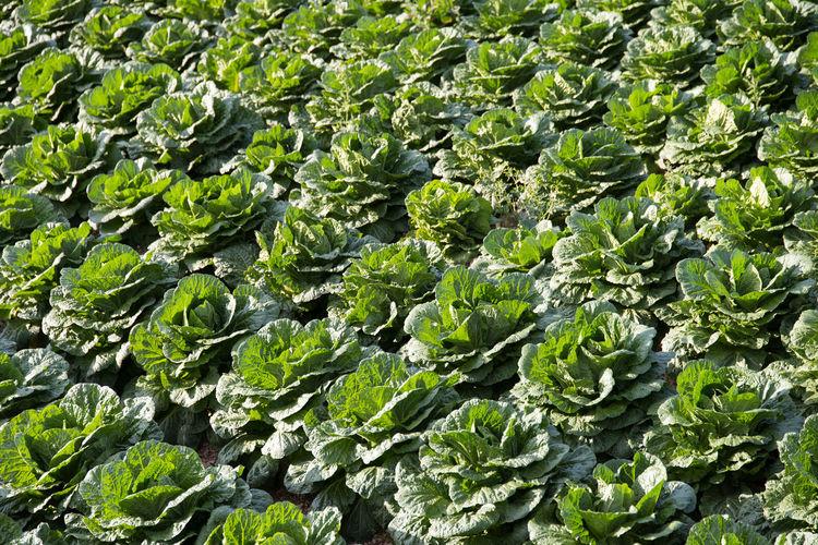 Full Frame Shot Of Vegetables Growing On Farm