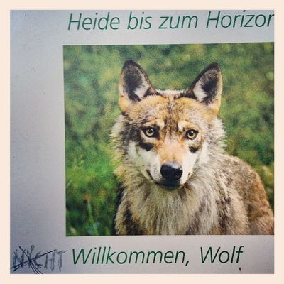 Wolf willkommen oder etwa nicht?