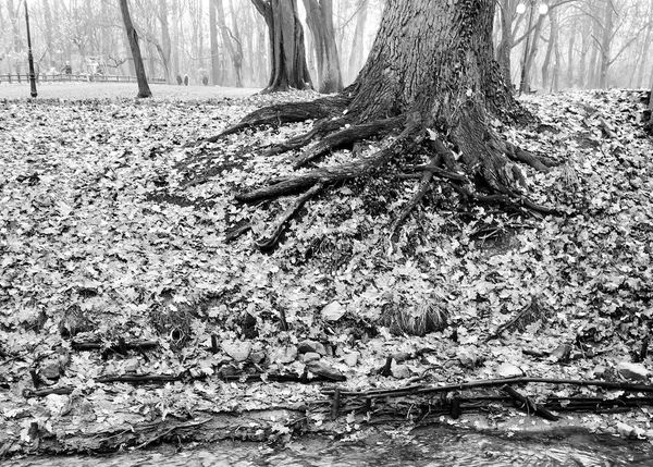 Tree Trunk Nature Forest Outdoors Day No People Landscape Beauty In Nature Tree Root Roots Roots Of Tree Blackandwhite Shades Of Grey Park Black And White