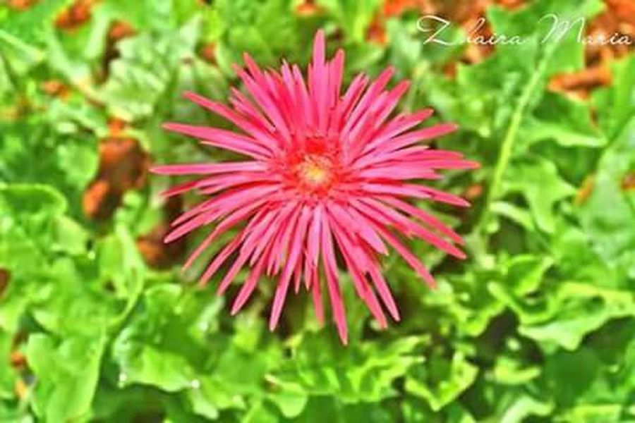 """My shot. """"DAISY"""" 🌻 Flower Pink Flower Pink Daisy Nature_perfection Nature Photography Enjoying The Nature Flowers, Nature And Beauty Connected With Nature"""