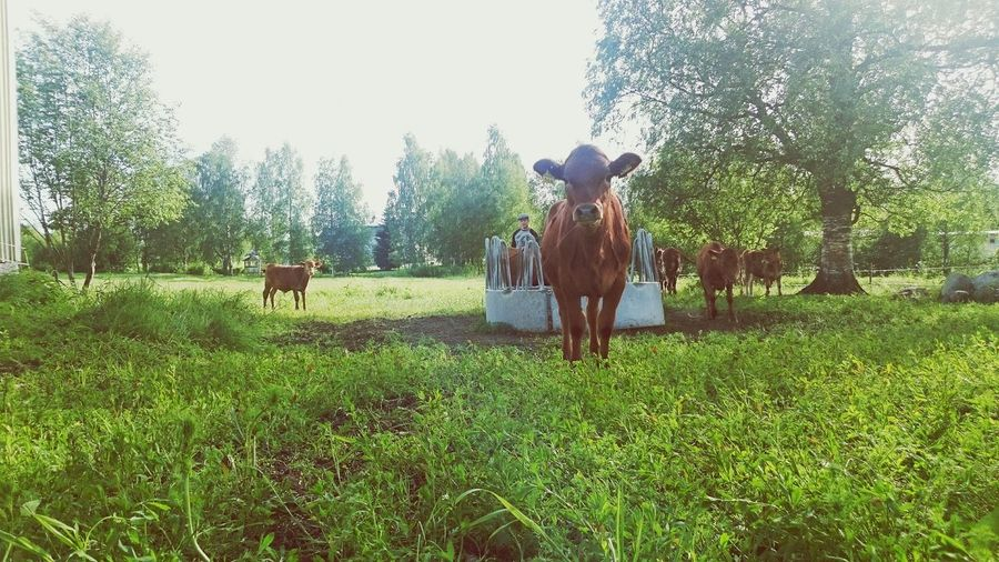 Scandinavia Sun Landscape Summer Allabouttheshot Finland Cows Sony Xperia Z3 Nature