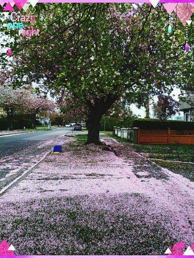 After Cherry Blossom Pink Grass