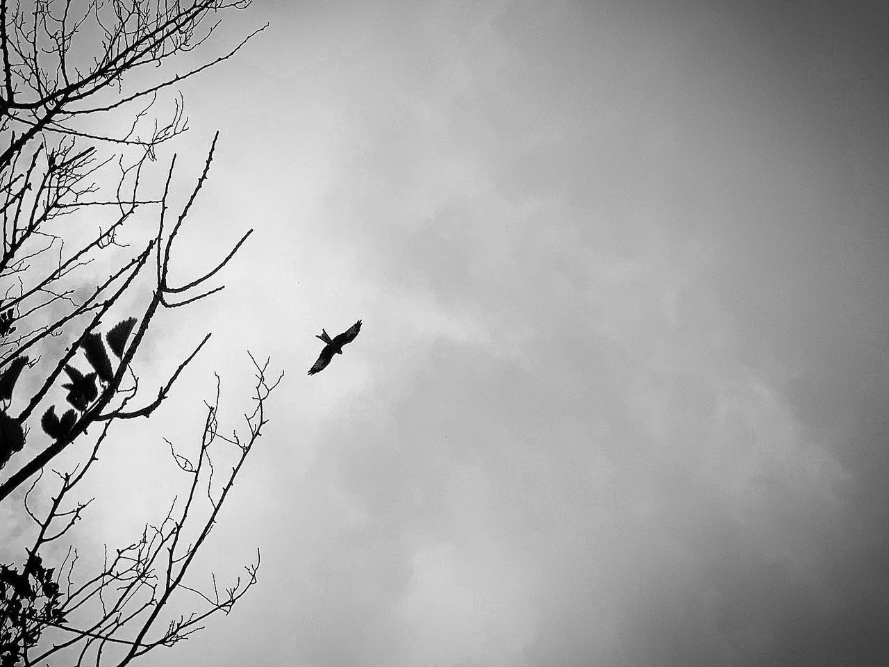 animal themes, animals in the wild, bird, animal wildlife, vertebrate, animal, sky, low angle view, flying, one animal, tree, cloud - sky, silhouette, nature, no people, branch, day, bare tree, outdoors, mid-air, eagle