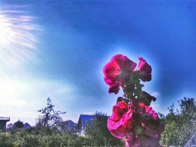 мальва лето Summer Flowers Sun