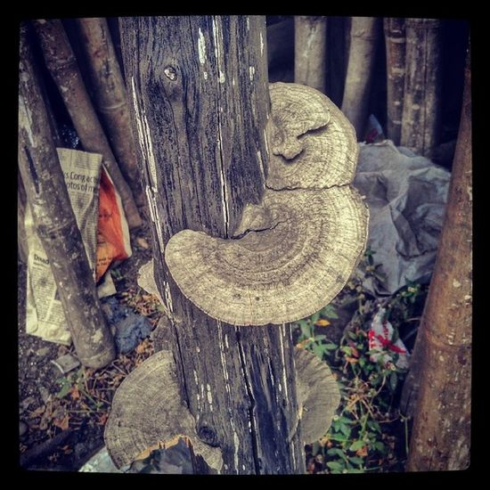 Dead bamboo with mushroom