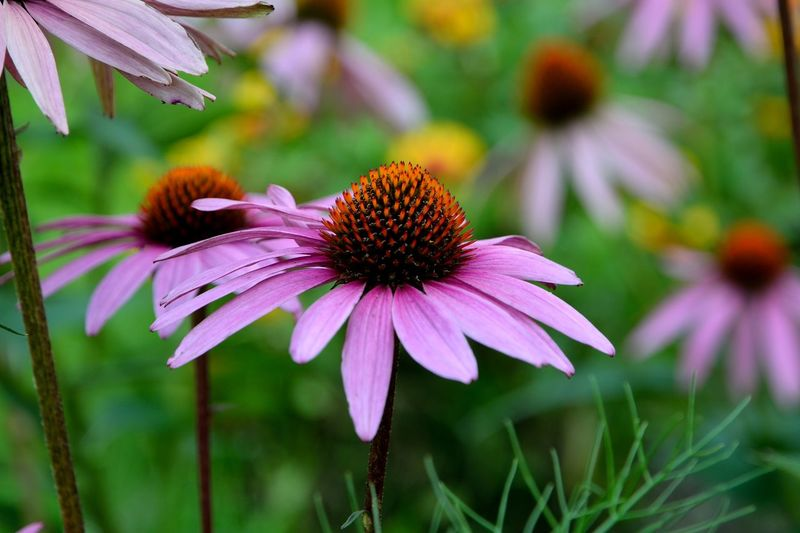 The Flower Beauty In Nature Close-up Coneflower Day Flower Flower Head Flowering Plant Focus On Foreground Fragility Freshness Growth Inflorescence Nature No People Outdoors Petal Pink Color Plant Pollen Purple Vulnerability