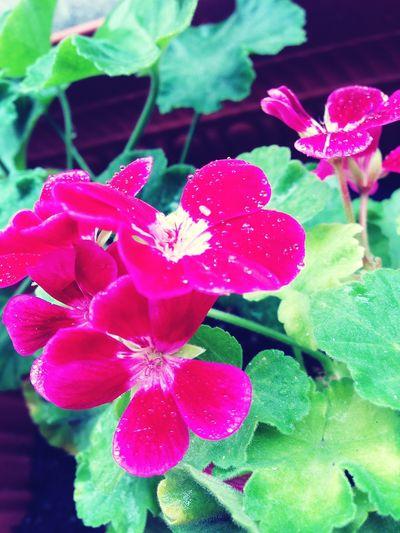 ゲリラが通って蒸し暑い…いやっ! レイニーブルー IPhoneography Pink