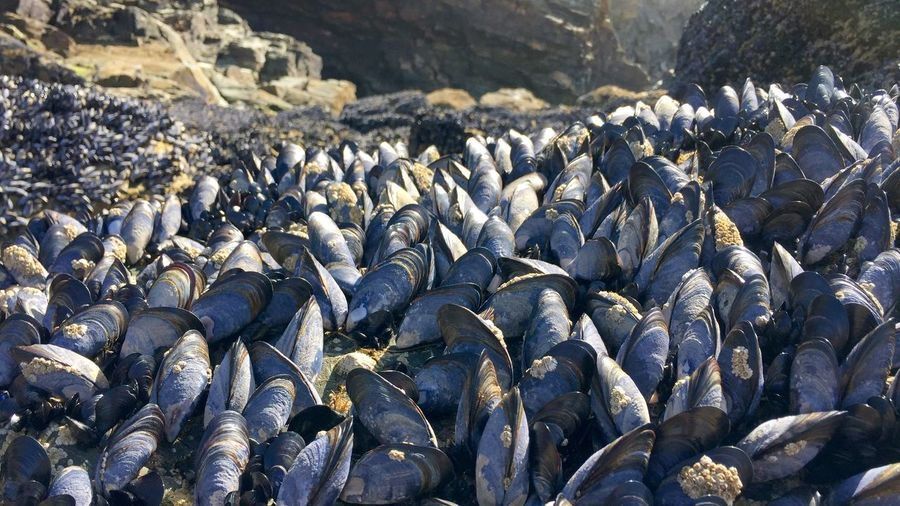 Close-up of mussels at beach
