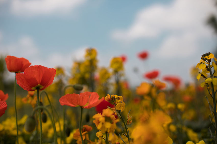 summer field Beauty In Nature Close-up Field Flower Flower Head Flowerbed Flowering Plant Focus On Foreground Fragility Freshness Growth Inflorescence Land Nature No People Outdoors Petal Plant Poppy Red Sky Springtime Vulnerability