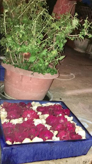 Tulsi in the aangan of my house in melbourne Plant Growth Potted Plant High Angle View No People Day Leaf Outdoors Nature Close-up Flower Freshness flower art outside Hindu culture Indian Culture  Festival Of Lights Desi Love Home Australia India Entrance Chalk Art Tulsi Indian Basil EyeEmNewHere EyeEm Selects