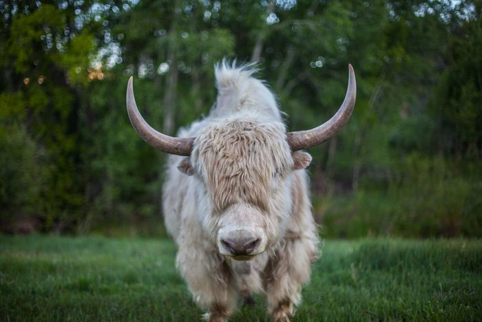 Bokeh Domestic Animals Field Highland Cattle Mammal Nature Outdoors Portrait Portrait Of A Woman Prime Yak Ride