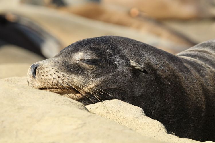 Close-up of sea lion resting