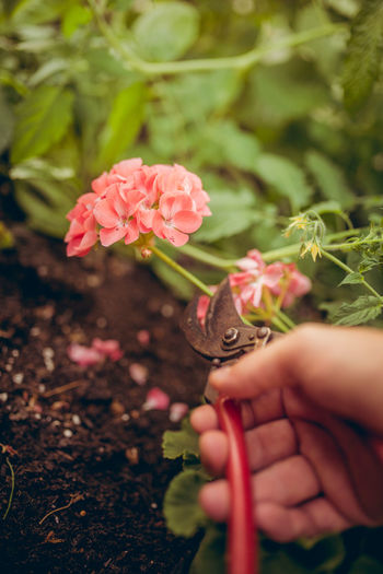 Cropped image of hand cutting flower with pruning shears