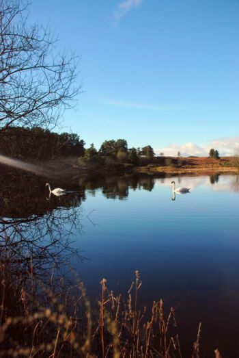 2 Swans Perthshire, Scotland Swans Animal Themes Beauty In Nature Bird Blue Sky Clear Sky Day Grass Lake Nature No People Outdoors Pond Life Reflection Scenics Sky Sun Rays Through Trees Tranquil Scene Tranquility Tree Water