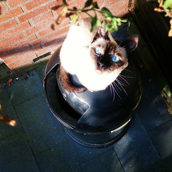 Love your blue eyes. Thai Thaicats Siamesecats