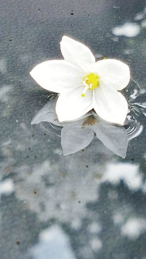 Jasmine Jasmine Flower Jasmin Blossom Water Flower Flower Head Petal Blossom White Color Fragility Springtime Scented Close-up Freshness Nature Beauty In Nature No People Outdoors Day Water Reflection After The Rain Reflections Lying On A Table