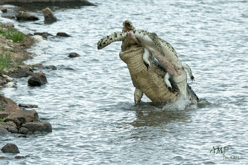 Crocodile eating crocodile..video on youtube. Check This Out Kruger Park http://youtu.be/7laai-Od1Vw