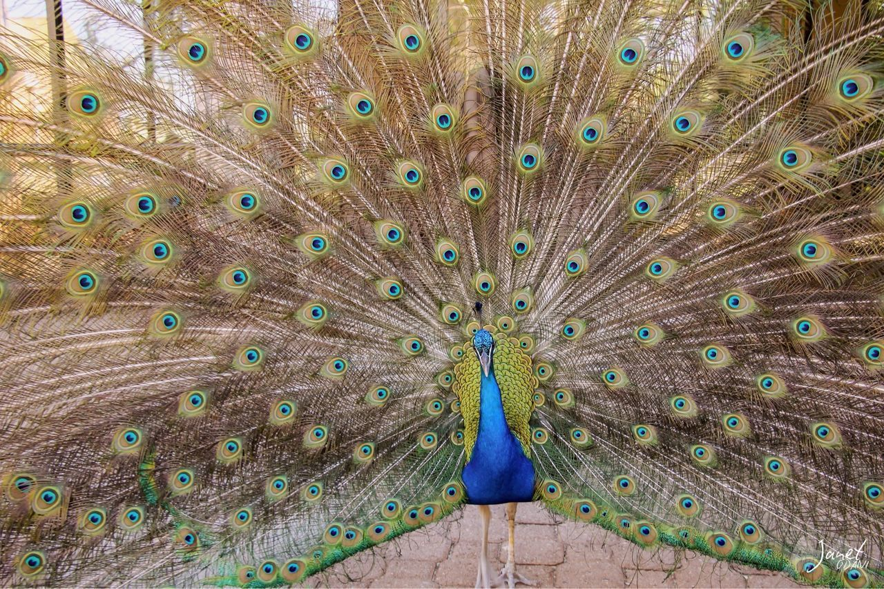 animal themes, peacock, animal, animal wildlife, bird, feather, one animal, animals in the wild, vertebrate, fanned out, peacock feather, beauty in nature, no people, multi colored, close-up, day, full frame, nature, male animal, blue