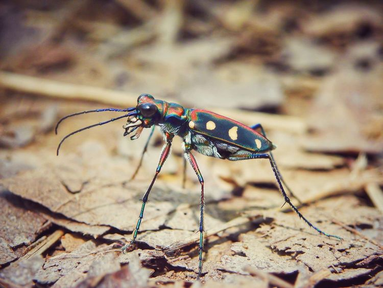 Tiger beetle Insect Nature Animal Themes Animal Wildlife Macro Photography Macrophotography Macro_collection EyeEm Nature Lover EyeEm Best Shots - Nature Macro Beauty EyeEmNewHere The Week On EyeEm Macro Nature Tiger Beetle