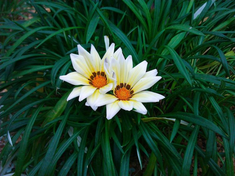 Gazania flower White Flower Flowerporn Flowers, Nature And Beauty Check This Out Whiteandgreen Flowers,Plants & Garden Flowerlovers Sweetflower Flower Photography Flowers_collection