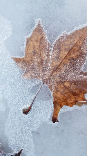 Icey Leaves Maple Leaves Ice Frozen Water Icey Water Snow Sports