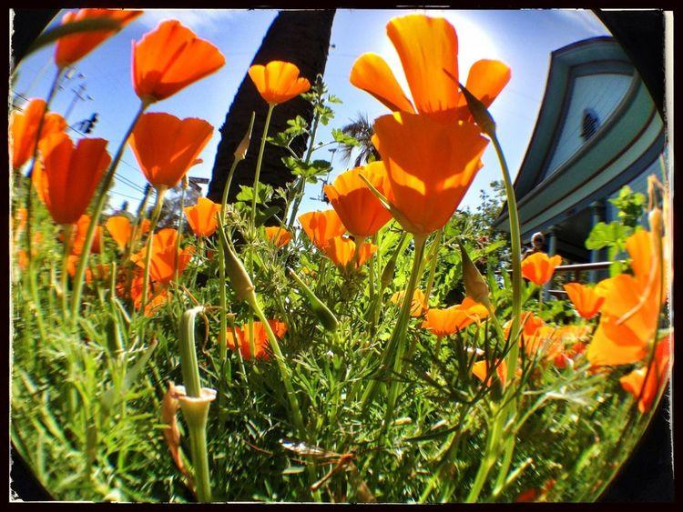 Flower Flowerporn Bug's Eye View California Poppy