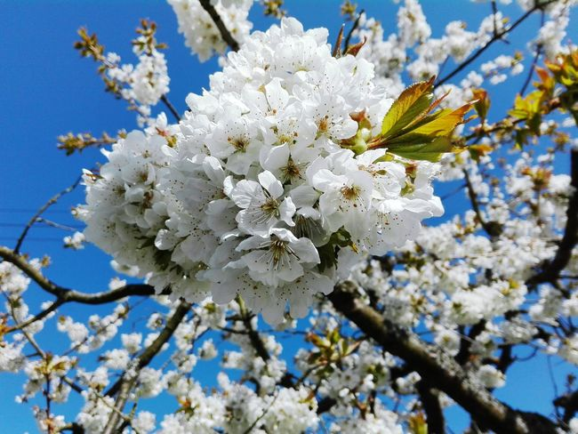 Flower White Color Petal Tree Beauty In Nature Fragility