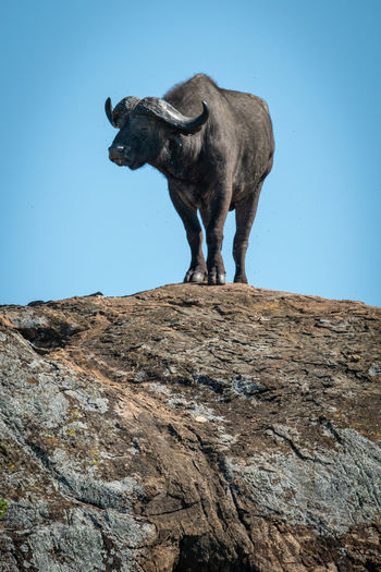 Low angle view of buffalo on rock against sky