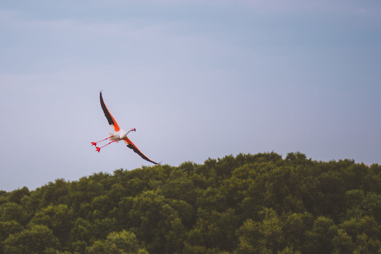 Low Angle View Of Flamingo Flying Against Sky