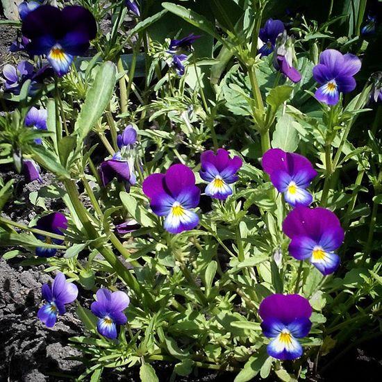Pansy Flower Omsk Siberiansummer Siberia омск сибирь сибирскоелето цветок  анютины глазки