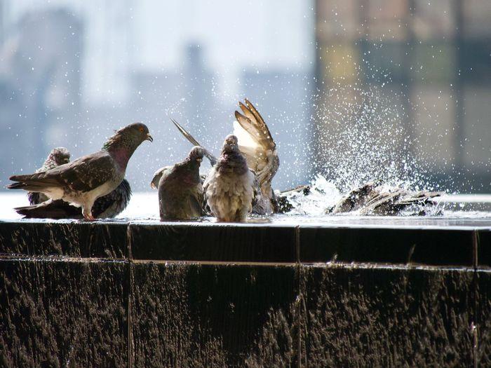 Pigeon birds perching in water